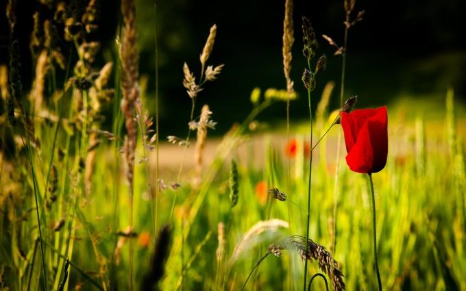 summer wallpaper poppies