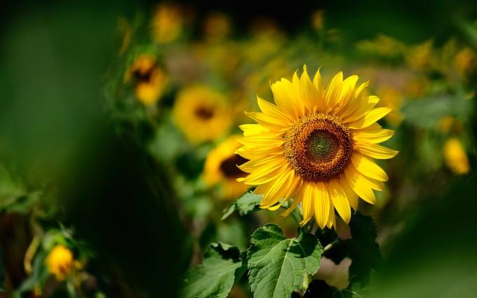 summer wallpaper sunflower