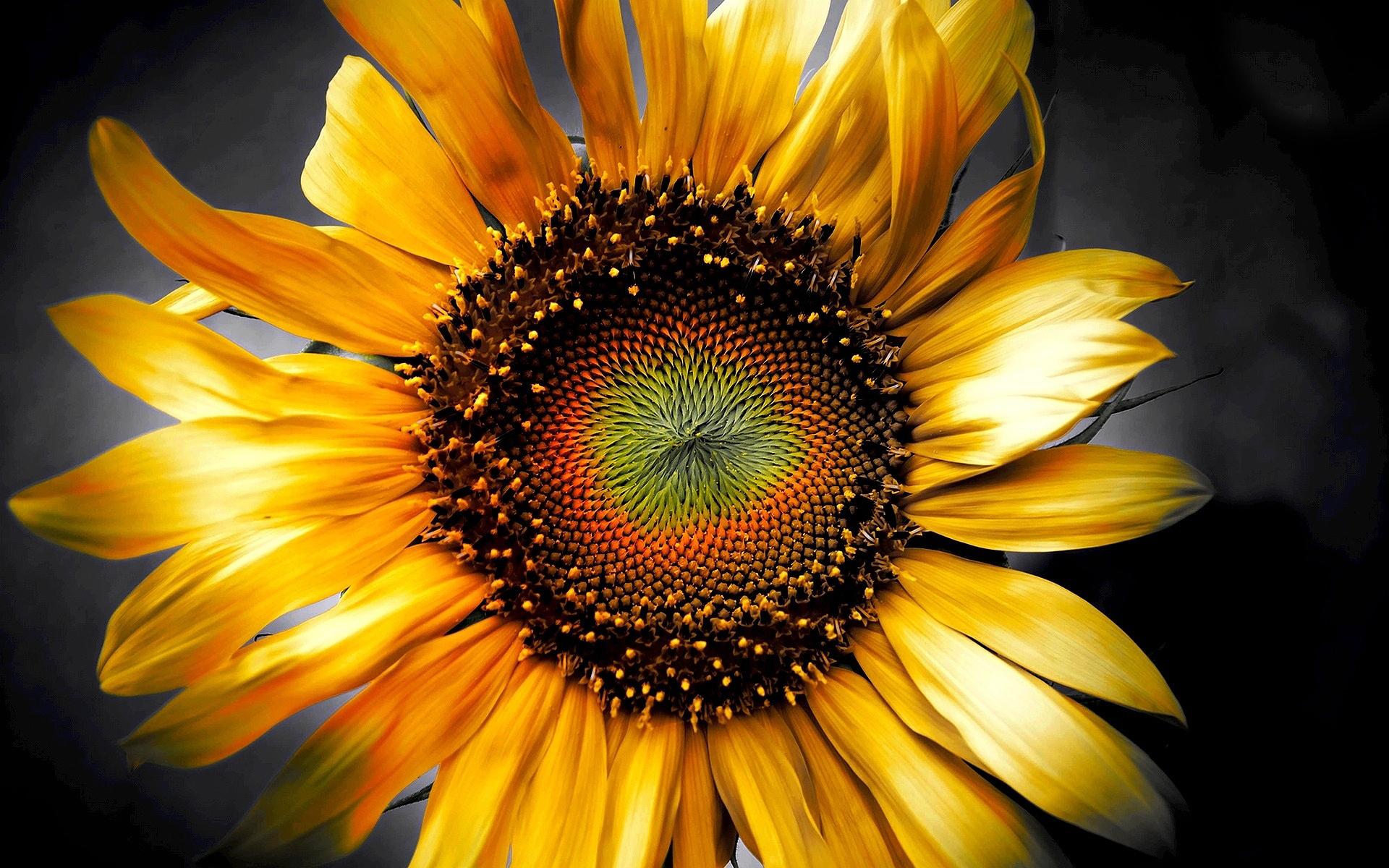 sunflower art 3d
