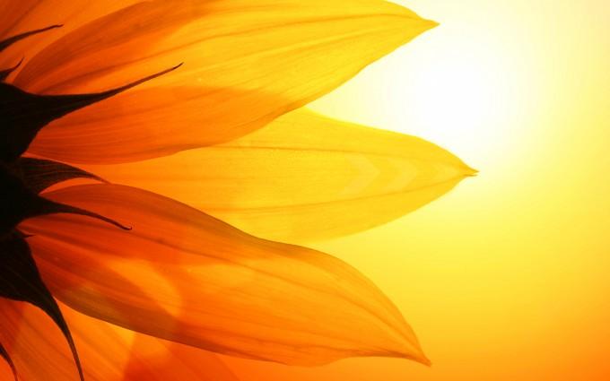 sunflower backgrounds
