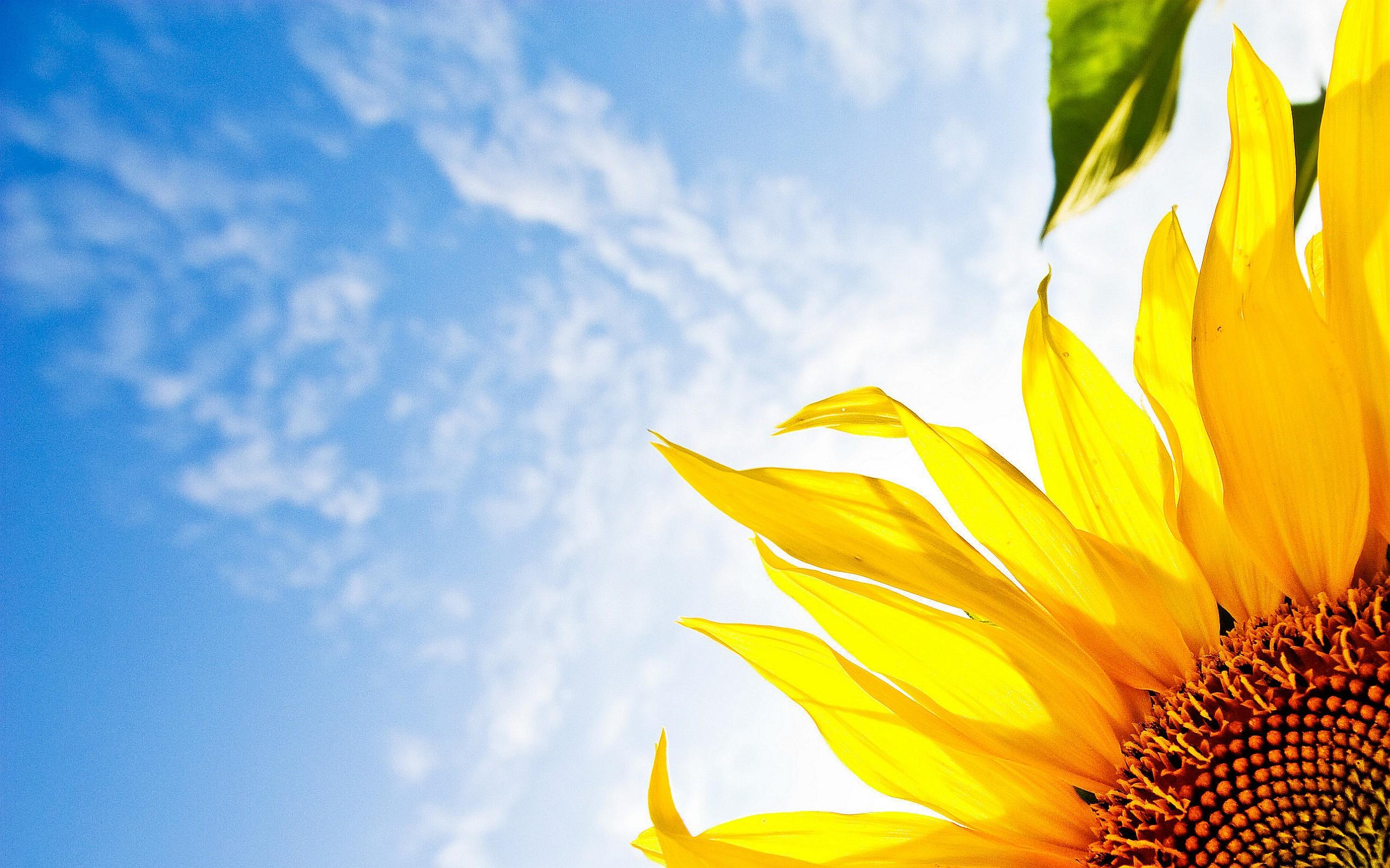 sunflower clouds sky