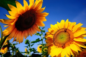 sunflowers background hd