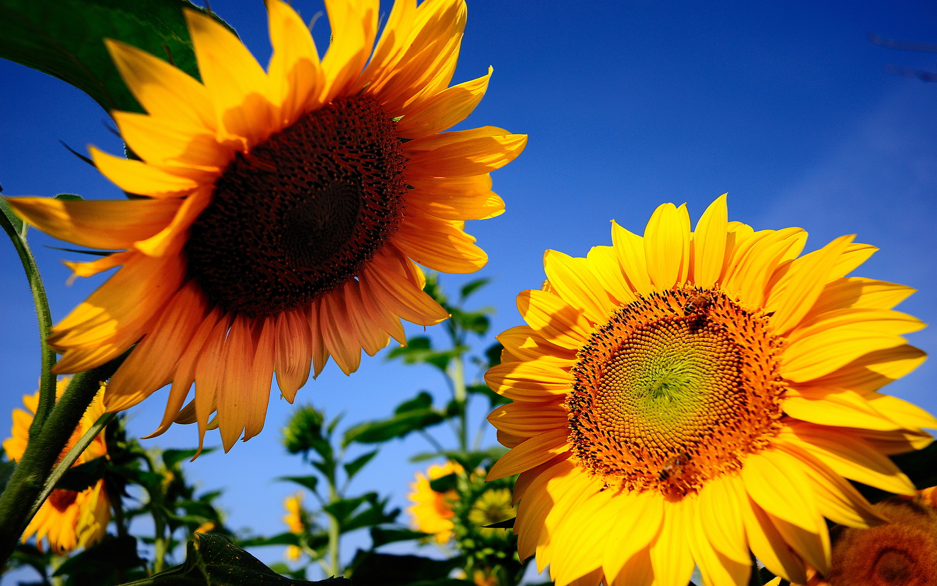 sunflowers background hd
