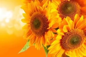 sunflowers yellow