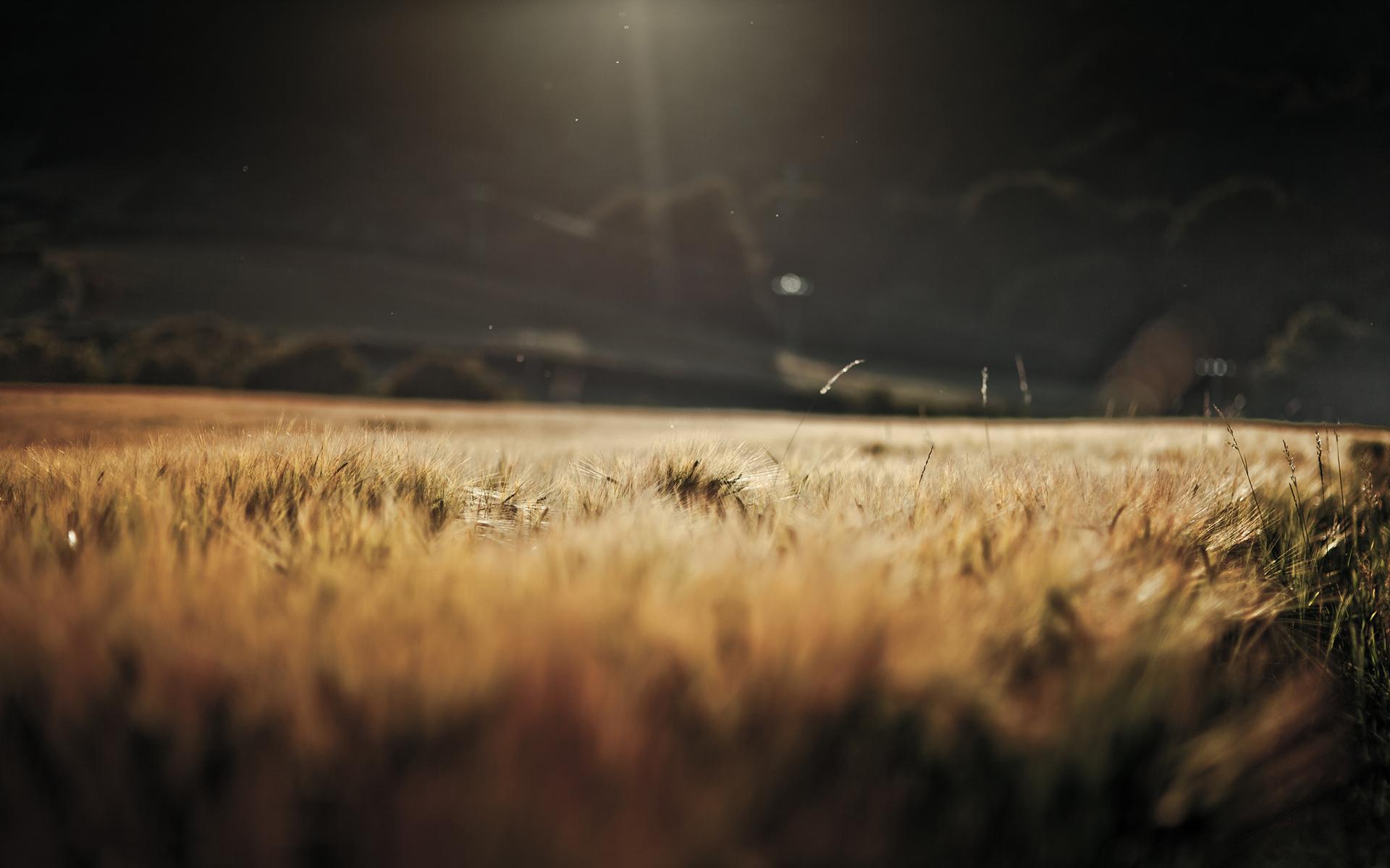 sunlight wallpaper wheat field