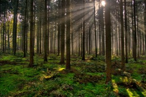 sunrays wallpaper forest