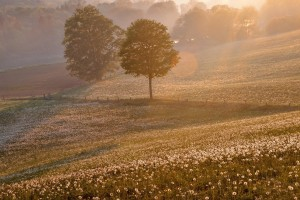 sunrise wallpaper dandelion
