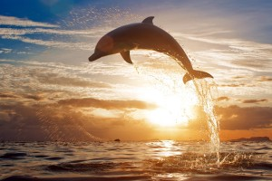 sunset images dolphin