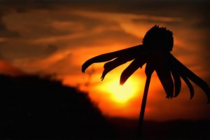 sunset images flowers