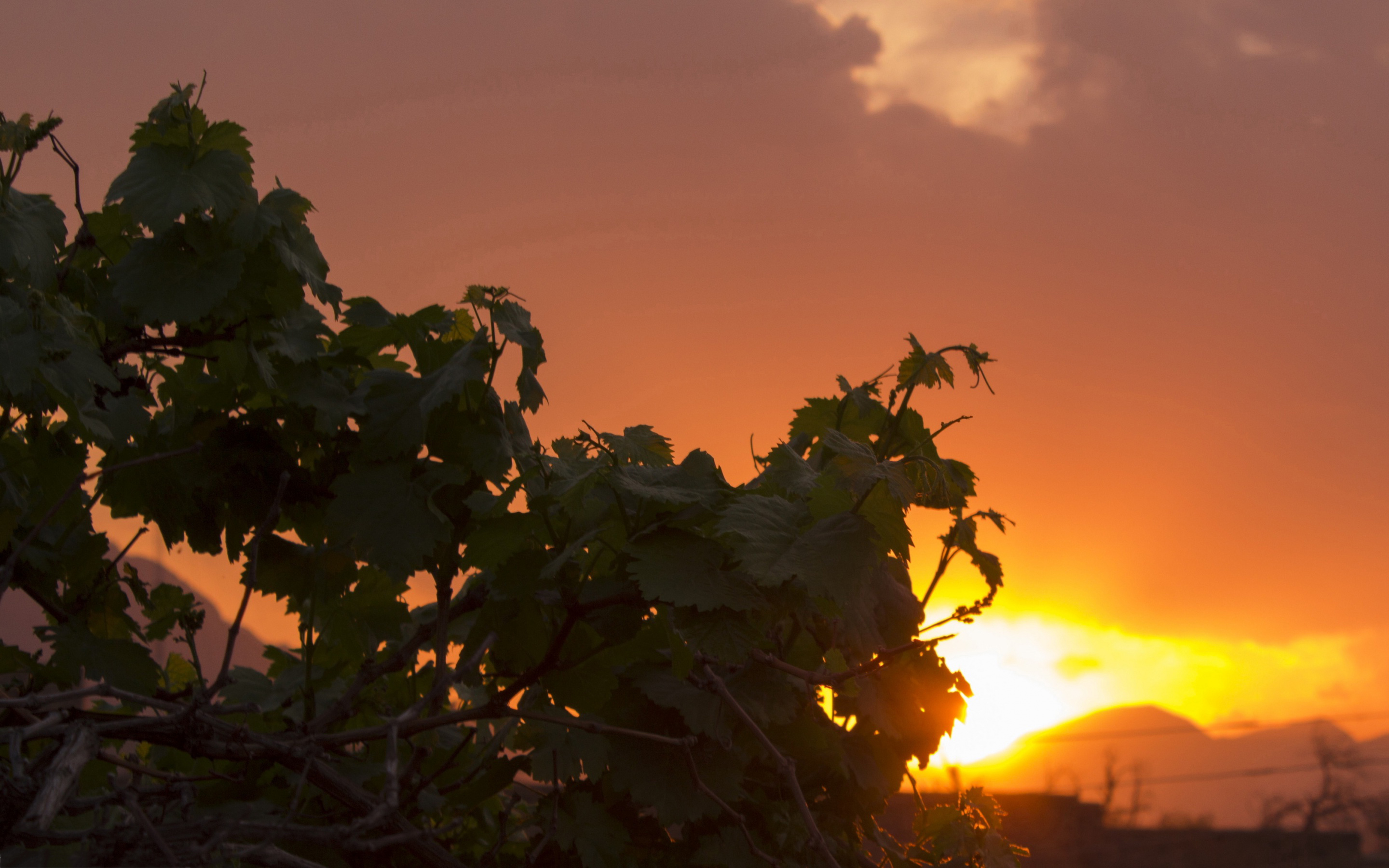 sunset images grapes