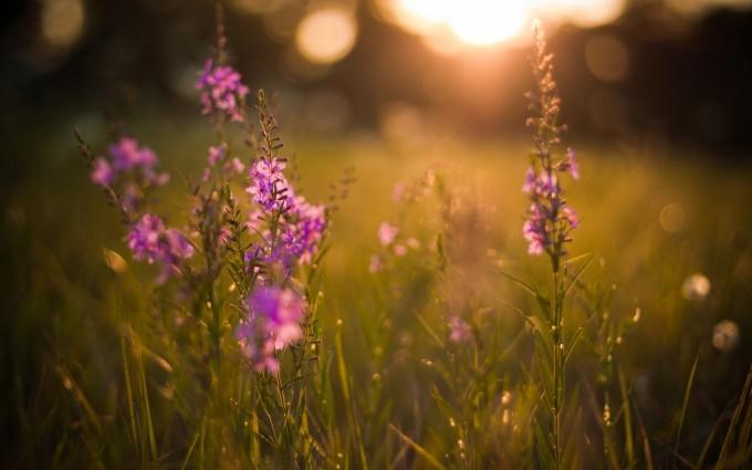 sunset meadow wallpaper