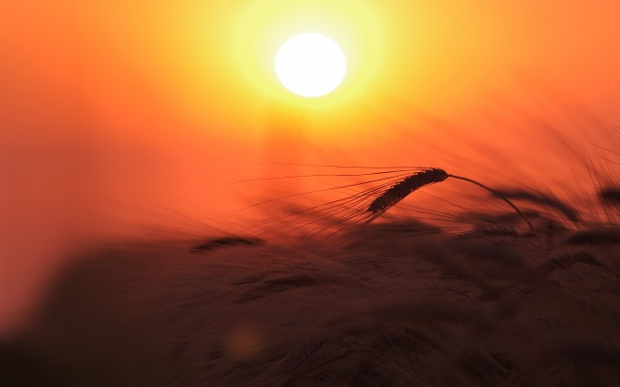 sunset pictures wheat field