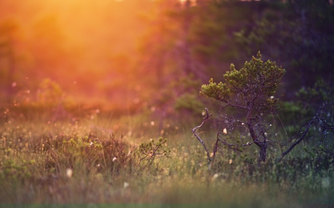 sunset wallpapers pine tree