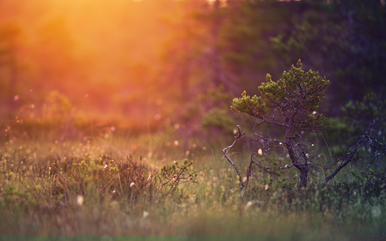 sunset wallpapers pine tree