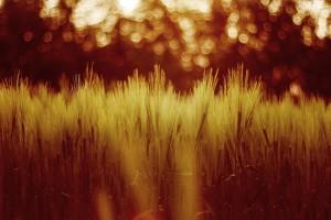 sunset wallpapers wheat field