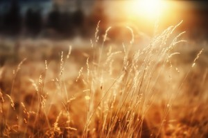 sunshine wallpaper cornfield