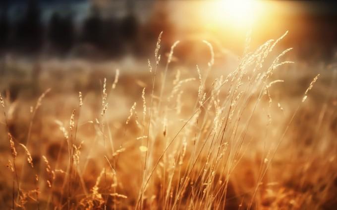 sunshine wallpaper cornfield