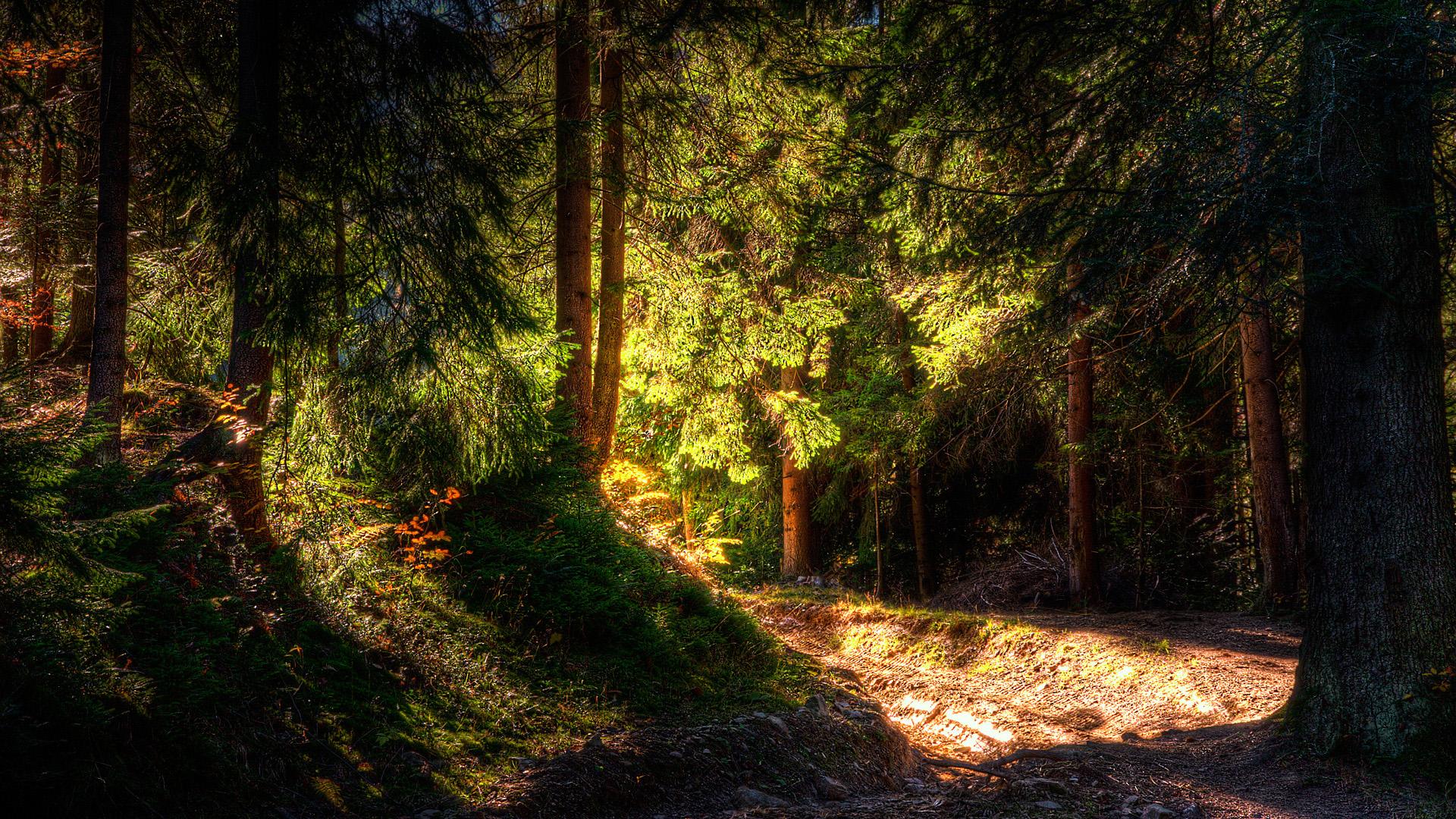 sunshine wallpaper dense forest