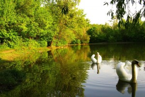 swan images