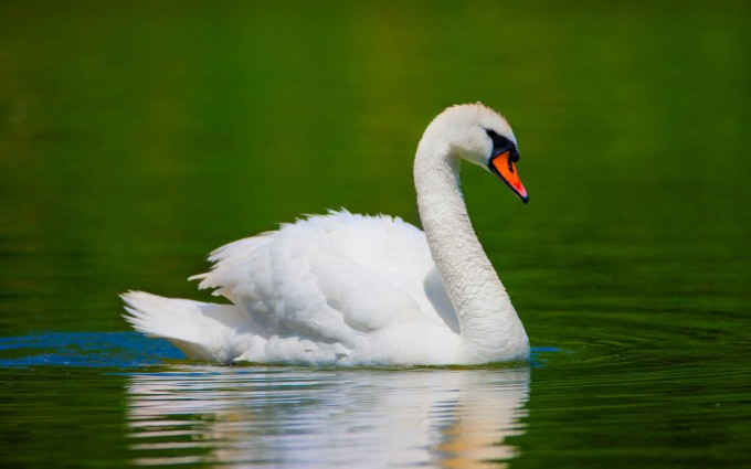 swan picture