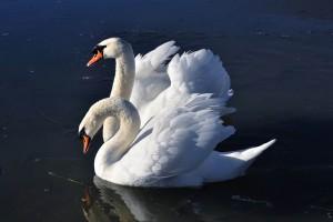 swan wallpaper hd