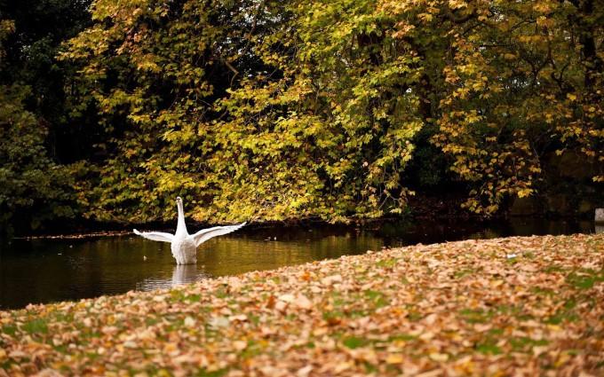 swan wallpapers