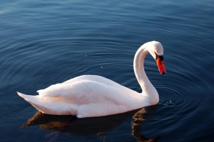 swans pictures