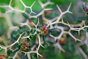 thorns background hd