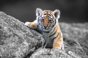 tiger baby cub