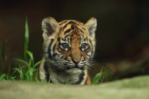 tiger baby cub forest