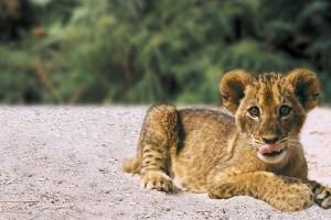 tiger baby cub nature