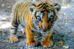 tiger baby cub wallpaper