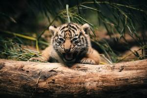 tiger best wallpaper