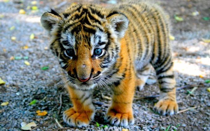 tiger cubs wallpaper