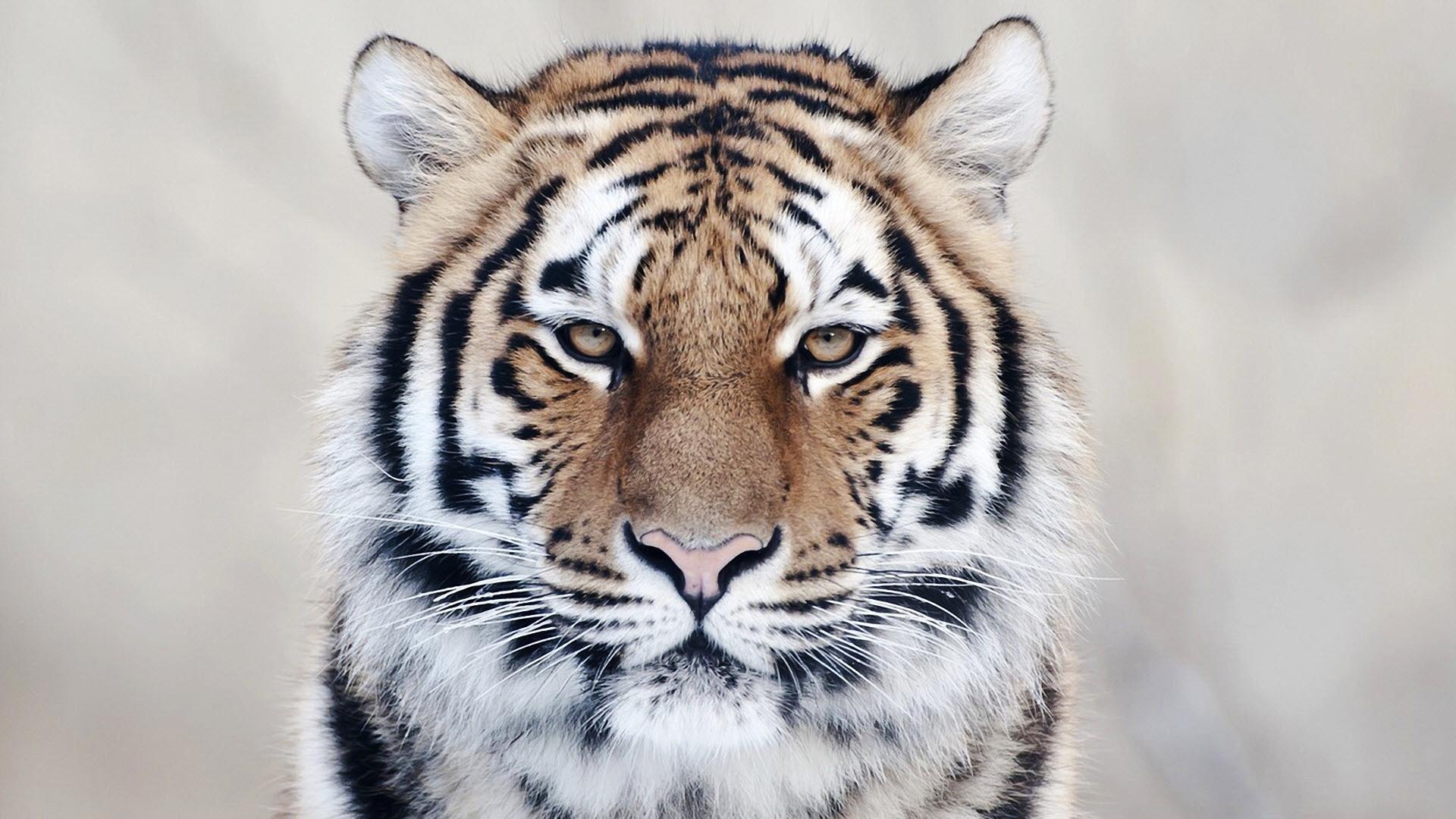 tiger hd photos