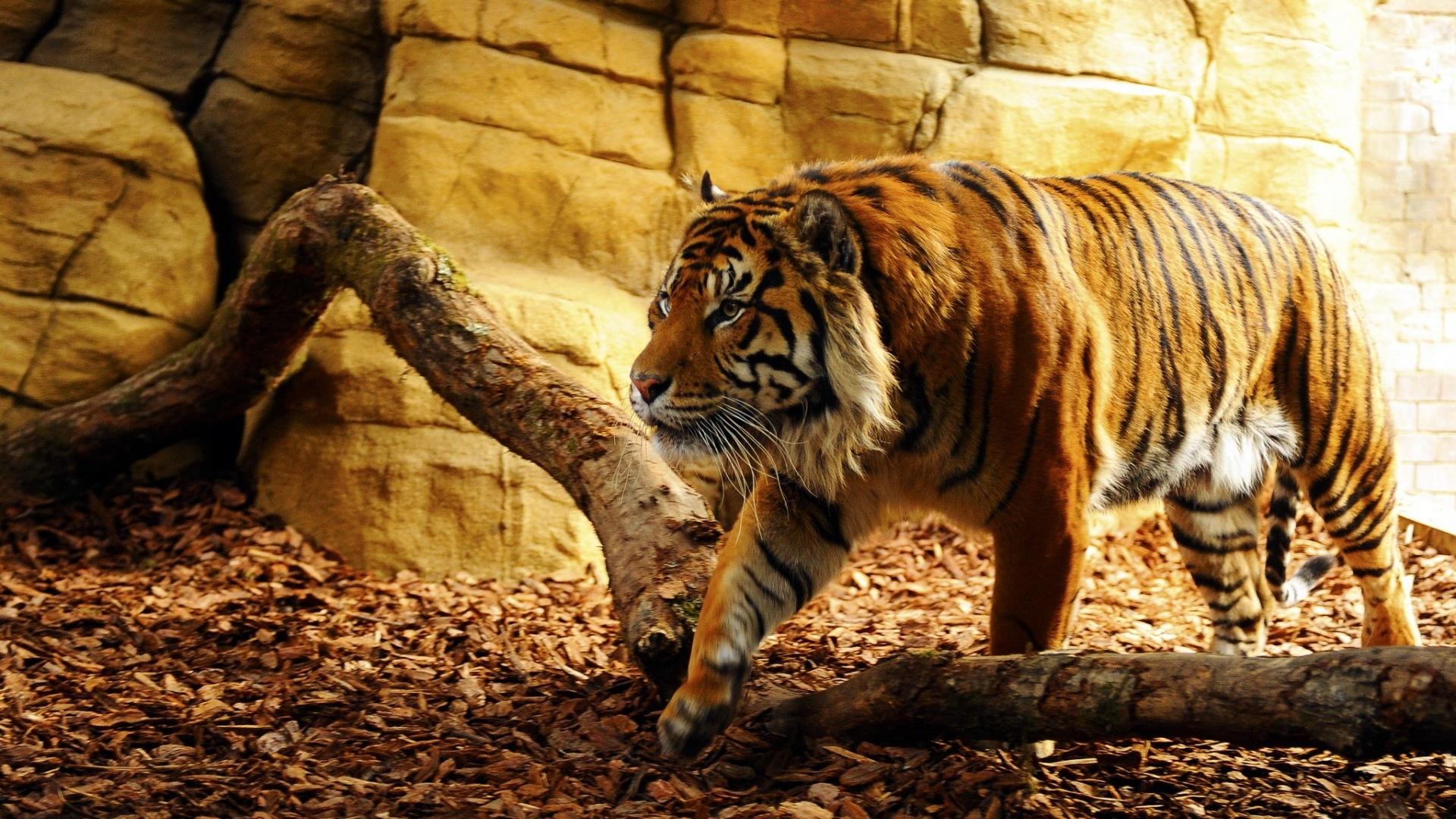 tiger hd wallpaper aa