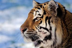 tiger macro close up