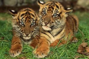tiger photos wallpaper