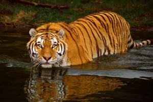 tiger pictures for wallpaper