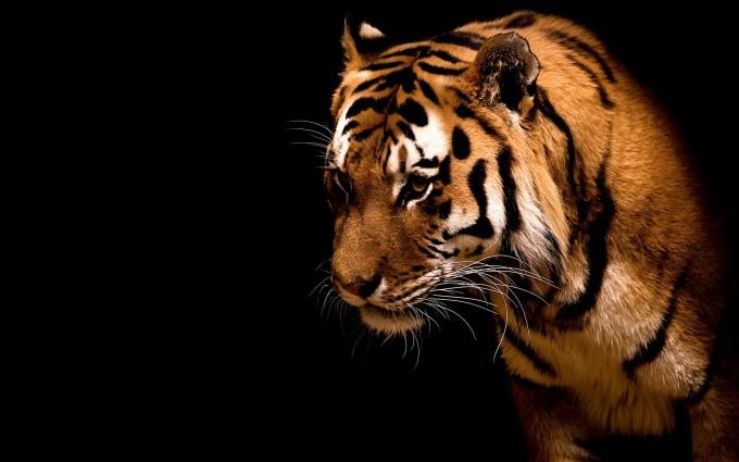 tiger wallpaper for walls
