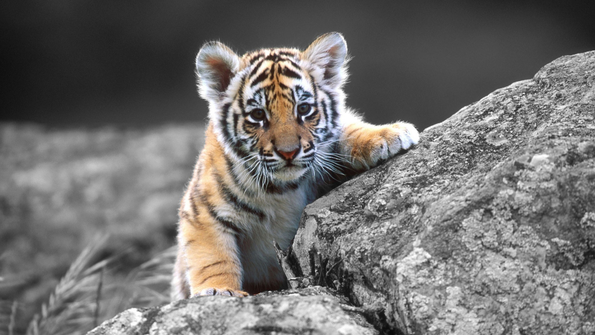 tiger wallpaper hd - hd desktop wallpapers | 4k hd