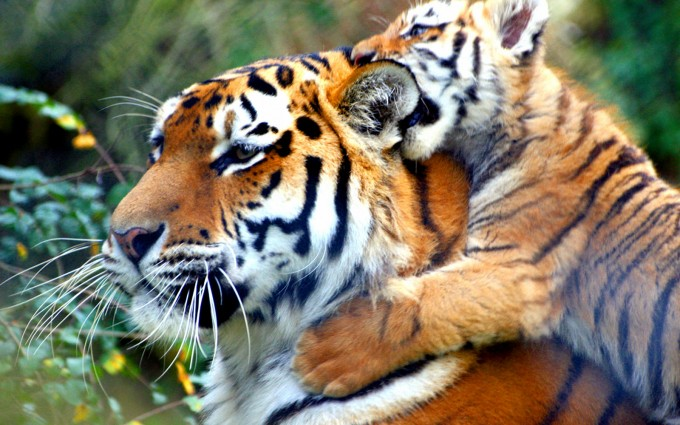 tigers hd wallpapers