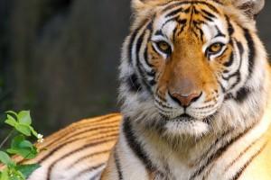 tigers wallpaper hd