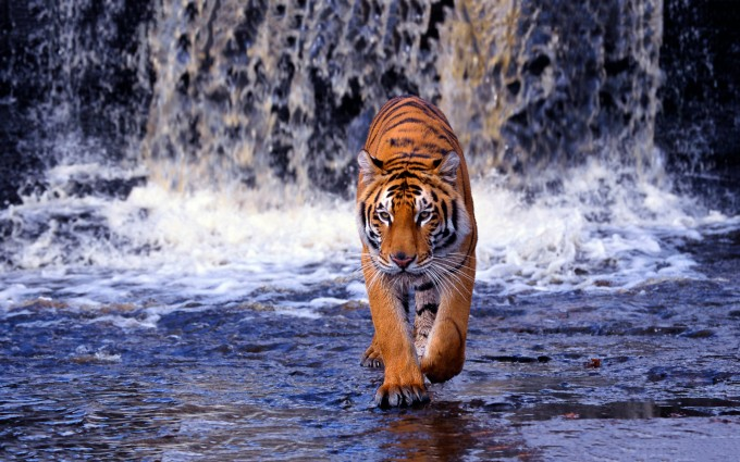 tigers wallpapers free download