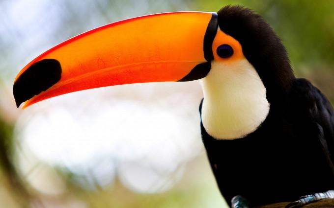 toucan bird cool