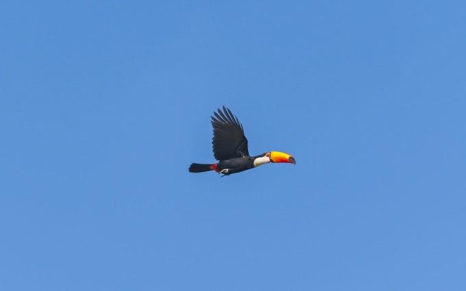 toucan bird desktop