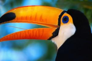 ca. 1980-2001, Pantanal Matogrossense National Park, Brazil --- Toco Toucan --- Image by © Theo Allofs/CORBIS