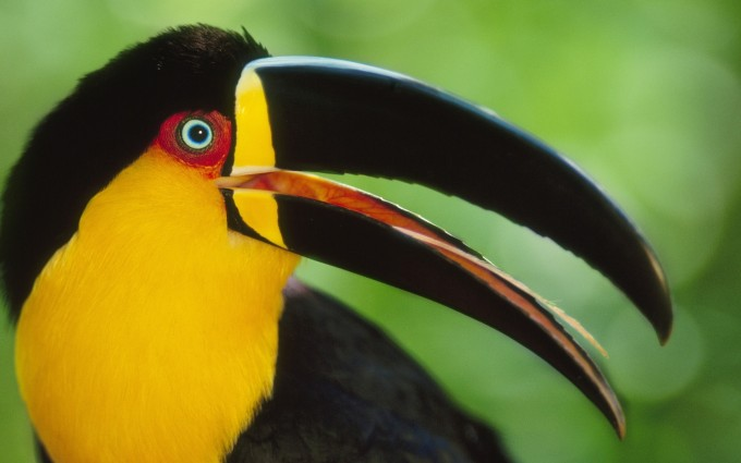 toucan bird pictures