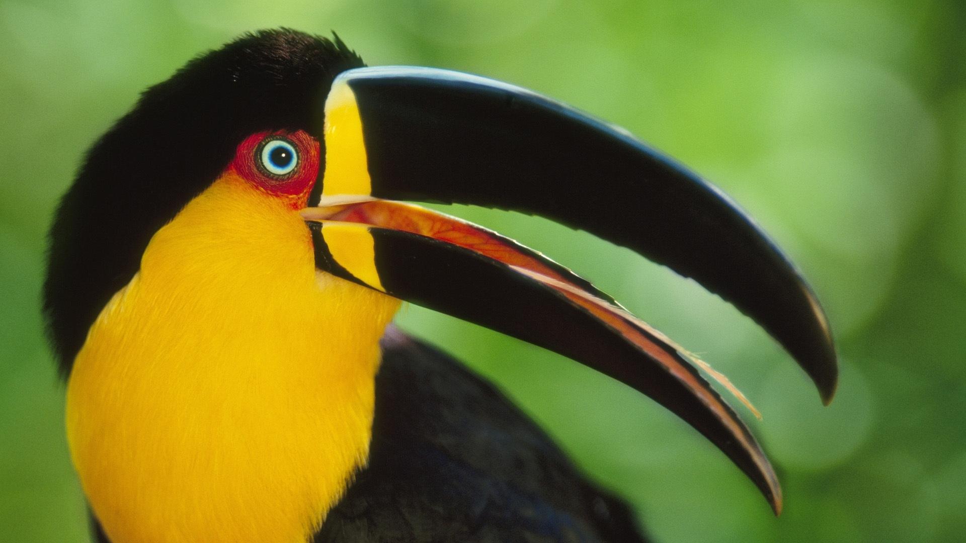 toucan bird pictures