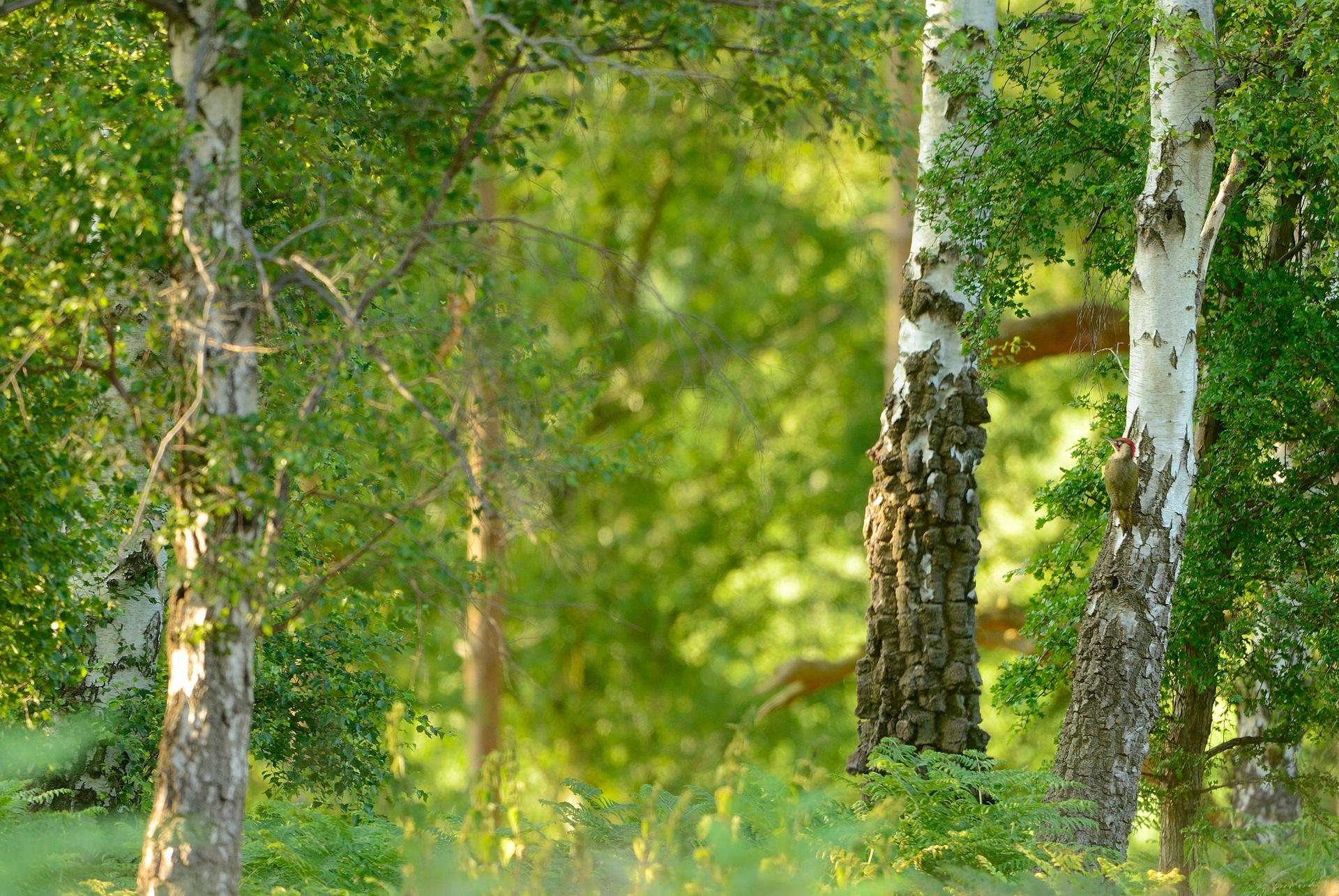 tree birch wallpaper
